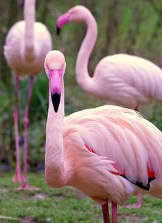 """chillypepperhothothot: """" Flamants rose/pink flamingo by natomevan on Flickr. """""""
