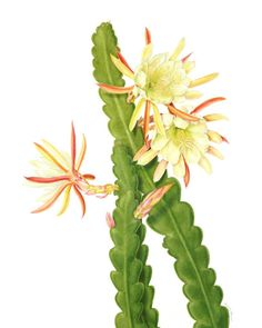 Meet: Beverly Allen, botanical artist