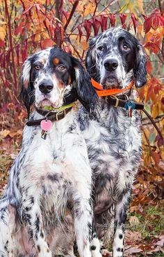 Ryman line of English Setters