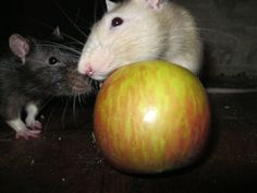 a apple a day keeps vet away Les Rats, Apple, Animals, Photos, Dumbo Rat, Parakeet, Fruits And Veggies, Eat, Apple Fruit