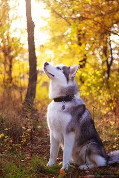 in the woods ( #husky #dogs ) ✌eace | H U M A N™ | нυмanACOUSTICS™ | н2TV™