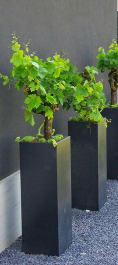 Grape vines in modern planters. Just perfect for a modern garden. Container Plants, Container Gardening, Container Flowers, Plantas Indoor, Contemporary Planters, Modern Planters, Pot Jardin, Garden Planters, Tall Planters