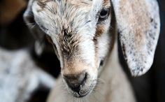 Success! Millions of Animals Saved From Religious Slaughter