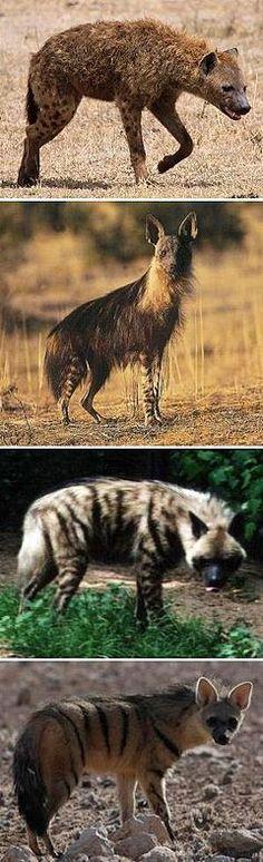 Hyaenidae é a família da ordem Carnivora que inclui os vários tipos de hienas e o lobo-da-terra. O grupo habita as planícies e savanas de África e oeste da Ásia e nenhum dos seus membros corre actualmente perigo de extinção – apesar de a hiena-castanha possuir uma distribuição geográfica restrita ao sul da África. Apesar de se parecerem exteriormente com os canídeos, as hienas têm maior afinidade com a família Viverridae e, juntamente com os membros dessa última.