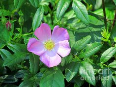 Pink Musk Mallow by Elizabeth Dow - Pink Musk Mallow Photograph - Pink Musk Mallow Fine Art Prints and Posters for Sale