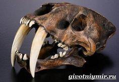 Саблезубый-тигр-Описание-особенности-среда-обитания-саблезубых-тигров-5