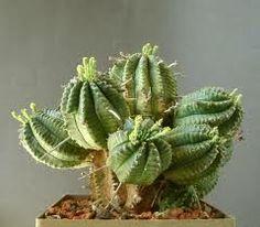 Euphorbia infausta