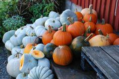 ~*- Gresskar -*~ (Amariel of the Woodlands) Pumpkins, Woodland, Food, Blogging, Essen, Meals, Pumpkin, Squash, Yemek