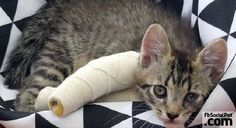 Raccolta fondi per tre gattini nati con le zampette deformi | FbSocialPet.com Gli animali c'insegnano, ci amano e nulla chiedono..  Mai rinfacciano e mai pretendono..  Ammiro il loro donarsi all'uomo, in cambio di una carezza! #Iloveanimals #Ilovepets #iostoconFbSocialPet #FbSocialPet Rimani aggiornato su FbSocialPet.com