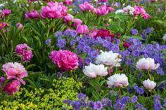 Lady's Mantle (Alchemilla Mollis), Peonies (Paeonia lactiflora 'Sarah Bernhardt' & 'Felix Crousse'), Cranesbill (Geranium x Magnificum ') Best Perennials, Flowers Perennials, Shade Perennials, Beautiful Flowers Garden, Beautiful Gardens, Flower Garden Images, Blue Geranium, Alchemilla Mollis, Nature Photography