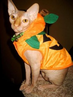 Image result for halloween sphynx cats