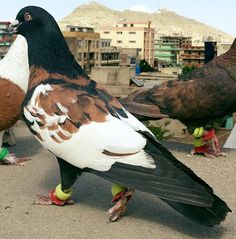 All Birbs Here — pigeonaday: Pigeon 397 Pigeon Pictures, Bird Pictures, Animal Pictures, Rare Birds, Exotic Birds, Colorful Birds, Cute Pigeon, Pigeon Bird, Pretty Birds