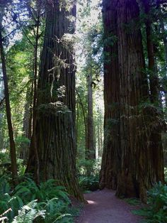 Big trees enclosing the lower end of the South Fork Trail, Prairie Creek Redwoods State Park