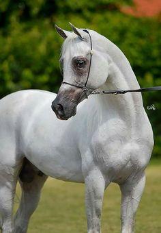 Arabian- Poland