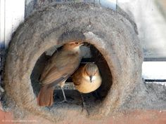 MUD NESTS - The birds add the mud gradually allowing the tropical sun to bake it until it is rock hard. Angry Birds, Pet Birds, Bird Cages, Bird Watching, Beautiful Birds, Mother Earth, Bird Houses, Beautiful Creatures, South America