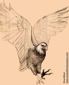 bald eagle flying, pencil study