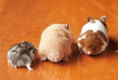 hammie butts - one Dwarf and two Syrians