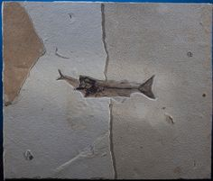 A fossil fish from the Eocene Epoch, know as Mioplosus labracoides, died while eating a smaller fish.