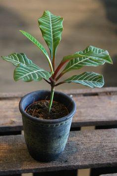 EUPHORBIA LEUCONEURA MINI Mini, Garden, Plants, Garten, Planters, Plant, Gardens, Tuin