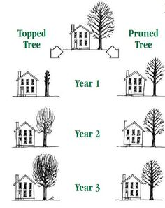 Topping vs Pruning A Tree Pruning Shrubs, Tree Pruning, Arbor Day Foundation, Arbour Day, Fruit Flowers, Plant Information, Tree Tops, Seed Pods, Natural Shapes