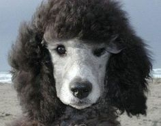 Beautiful standard poodle puppy looks kinda like my baby Rucker <3