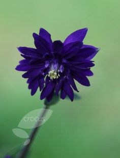 Buy granny's bonnet Aquilegia vulgaris var. 'stellata Blue Barlow (Barlow Series)': Delivery by Crocus.co.uk