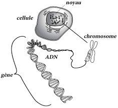 """Résultat de recherche d'images pour """"l'adn support de l'information génétique"""""""