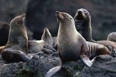 The Juan Fernández fur seal was considered extinct until it was happily rediscovered in although it nevertheless remains rare. When ashore, these fur seals are usually found on rocky and volcanic shorelines with boulders, cliffs, overhangs, and caves. Juan Fernandez, Mammals, Lions, Hunting, Cute Animals, Creatures, Fur, Extinct, Seals