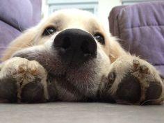 Dog - Golden Retriever - Icareon www.yummypets.com