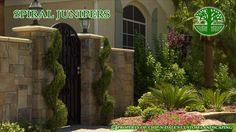 spiral juniper - Google Search Landscaping Ideas, Backyard Ideas, Spiral, Outdoor Structures, Landscape, Google Search, Plants, Style, Diy Landscaping Ideas
