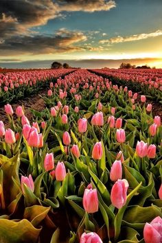 Beauty in all things. Tulips Garden, Tulips Flowers, Exotic Flowers, Pretty Flowers, Wild Flowers, Planting Flowers, Pink Tulips, Beautiful Flowers Pictures, Flower Pictures