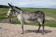 Andalusian donke