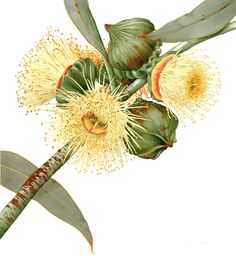 Annie Hughes, watercolor. In bloom: the art of drawing and painting Australian plants – in pictures