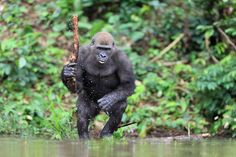 Dangerous gorilla from Gabon by Michal Jirouš on 500px