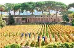 Grape Harvest in Pompeii returns for the Annual Vendemmia | Italy Magazine