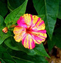 Night+Blooming+Flowers   Night blooming flower   Flickr - Photo Sharing!