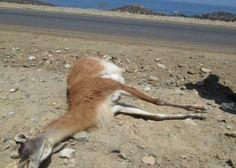 CACERIA guanaco - Buscar con Google