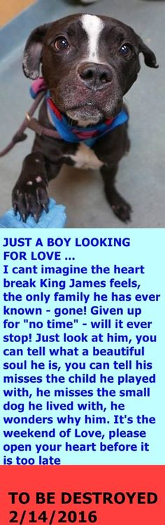 SAFE 2-17-2016 by Feline Rescue of Staten Island --- Brooklyn Center – P  My name is KING JAMES. My Animal ID # is A1064667. I am a neutered male black and white am pit bull ter mix. The shelter thinks I am about 5 YEARS old.  I came in the shelter as a OWNER SUR on 02/07/2016 from NY 11208, owner surrender reason stated was NO TIME. http://nycdogs.urgentpodr.org/king-james-a1064667/