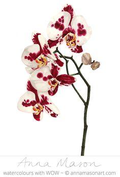 "Orchid Taiwan Glory © 2007 ~ annamasonart.com ~ 23 x 41 cm (9"" x 16"") #AnnaMasonNewSite"