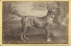 Cabinet card of brindle pit bull named Caesar. Verso, written in ink-dipped pen in fancy script: the dog's name, date: May 19, 1888, and something else, which I can't read (not in English). From bendale collection