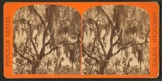 Spanish Moss. American views ; Popular series ; Views in Florida, no. 9387.