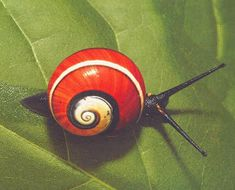 Cool Insects, Bugs And Insects, Nature Animals, Animals And Pets, Cute Animals, Beautiful Creatures, Animals Beautiful, Snails In Garden, Snail Shell