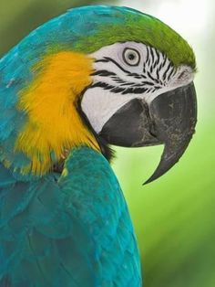 Photographic Print: Blue Macaw, Costa Rica Poster by Glenn Bartley : Parrot Pet, Parrot Bird, Beautiful Birds, Animals Beautiful, Cute Animals, Exotic Birds, Colorful Birds, Wild Life, Blue Macaw