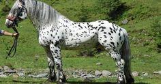 Hugo Vulkan XVIII, spotted Noriker stallion
