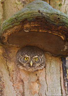 Northern Pygmy Owl gazing through nature's door