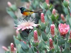 Orange-breasted Sunbird on a protea bush. It is one of only six bird species that are endemic - occurring nowhere else - to the fynbos region.