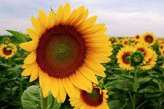 State Flower: Sunflower