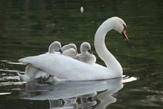 Svane med unger :-)