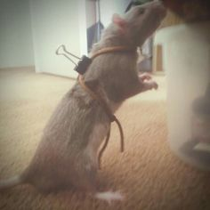 Homemade rat harness for walking leash