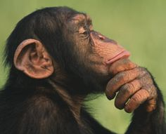 Five male wild chimpanzees living in an African forest have figured out how to deactivate, and sometimes even destroy, snares set out by human hunters, according to scientists who watched the clever chimps in action.